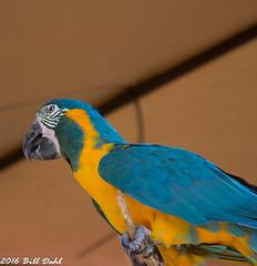 Parrot 4 (Bill Dahl 2 Million+ Views Club) Tags: copyright2016 avian birdphotography birds photographybybilldahl photobybilldahl photosbybilldahl photographerbilldahl billdahl billdahlphotography billdahlphotographer httpwwwbilldahlnet canoneos7d canon7d canon