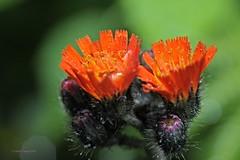 Orangerotes Habichtskraut 2 (DianaFE) Tags: dianafe blume blte wildkraut wiesenblume tropfen regen makro tiefenschrfe schrfentiefe