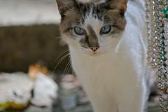 Little Holly Blue Eyes (BKHagar *Kim*) Tags: bkhagar holly cat kitty kitten feline blueeyes siamese pet beads mardigrasbeads