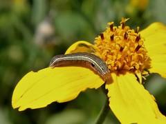 Spodoptera ornithogalli (carlos mancilla) Tags: spodopteraornithogalli insectos orugas caterpillars polillas moths olympussp570uz polillasbho