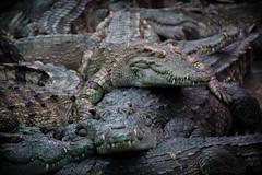 Crocodile jam (jordi_s_r) Tags: crocodile jam cambodia camboya cocodrilo cocodril farm