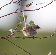 Superb Fairy-Wren (Malurus cyaneus) (Doublebar) Tags: abirdsaustralia a australianbirds fairywren529superb