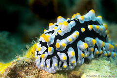 Phyllidia-7234.jpg (lgiboin) Tags: subject puauputri underwater macro indonesia travel nudibranch