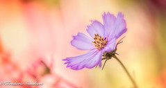 Purple Light (frederic.gombert) Tags: purple light cosmos world flower flowers color colors sun sunlight garden plant nikon macro d800 geatphotographers macrodreams