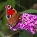 Peacock on butterfly-bush
