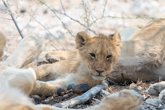 DSC_4115.JPG (manuel.schellenberg) Tags: namibia etosha animal nationalpark lion