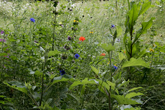 Fann Street Garden-11 (Out To The Streets) Tags: 20160619 fannstreetgarden london opengardens opengardens2016 blue cornflowers grass green leaves poppies red wildflowers
