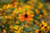 Sea Of Orange (David S Wilson) Tags: england sonyilce6000 sigma30mm114dcdn fens ely 2016 davidswilson uk adobelightroom6