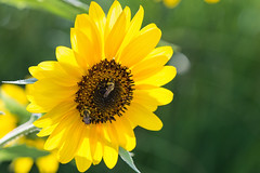 Teamwork (Bob90901) Tags: teamwork bees sunflower newyork longisland insects flower rpg90901 light afternoon 2016 september 1753 canon 6d canonef70200mmf28lisiiusm canon70200f28lll summer
