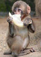 japanese macaque artis JN6A3311 (j.a.kok) Tags: makaak macaque japansemakaak japanesemacaque artis