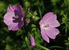 Wild Flower (Hugo von Schreck) Tags: wildemalve malvasylvestris hugovonschreck outdoor wildflower wildblume macro makro flower blte canoneos5dsr tamron28300mmf3563divcpzda010 givemefive
