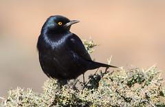 Pale-winged Starling (Onychognathus nabouroup) (George Wilkinson) Tags: onychognathusnabouroup palewinged starling goegap nature reserve south africa northern cape wildlife canon 7d 400mm bird ngc
