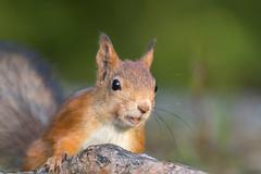 I see peanuts (washi81) Tags: squirrel red animal wildlife wild fur cute forest green close up sciurus vulgaris