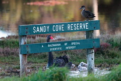 Sandy Cove Reserve (blachswan) Tags: portfairy victoria australia ocean southernocean sandycovereserve cygnet cygnusatratus chestnutteal teal sign swans blackswan cygnets