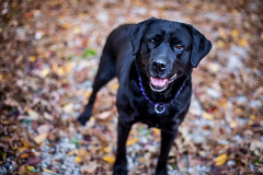 Maggie (pyathia) Tags: trees dog pet black fall leaves animal outdoors mixed woods labrador bokeh mcgee large rottweiler maggie blackdog mixbreed largebreed largedog macgee