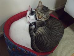 12 de Outubro - Dia de Nossa Senhora Aparecida e Dia das Crianças (Lavanda Artes) Tags: pet chat gato neko katze diadascrianças nossasenhoraaparecida padroeiradobrasil