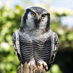 Northern Hawk Owl (Explored) (Stephen Bridson) Tags: wild bird nature animal animals closeup photography zoo photo eyes nikon bokeh wildlife feathers sigma explore owl wildanimal animalplanet birdofprey nationalgeographic chesterzoo northernhawkowl birdphotos sigma70300mmdgmacro nikond3000 highqualityanimals