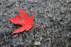 Red Leaf Rock (pokoroto) Tags: autumn red ontario canada rock leaf october barrie 10 2011    kannazuki    themonthwhentherearenogods 23