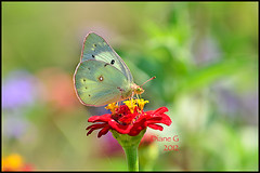 Clouded Sulphur (Diane G. Zooms--- On/Off) Tags: nature butterfly ngc butterflies npc mfcc cloudedsulphur coth thegalaxy sweetfreedom fabuleuse coth5 cloudedsulphur2 butterflieswithbugs