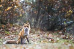 D'la Visite au Camp (Renald Bourque) Tags: autumn canada color nature animal canon wow quebec wildlife québec fox renard iloveit mastigouche lefion lefïon