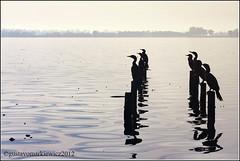Biguas que miran (gus polaco) Tags: water birds fog landscape lago agua paisaje lagoon pajaros pato monte laguna pajaro niebla patos
