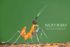 Praying Mantis nymph (Mantodea) - DSC_5373 (nickybay) Tags: macro mantis singapore praying nymph mantodea venusdrive