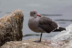 Big Sur Ca. (kiwigran) Tags: california usa nature bigsur carmel plus birdlife juvenilegull natureplus coastalbird