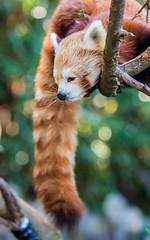 Zoo Atlanta (46 of 65) (Quentin Biles) Tags: cute animals canon ga georgia redpanda teleconverter zooatlanta 5d3 5dmarkiii 70200f28lisii efextender2xiii