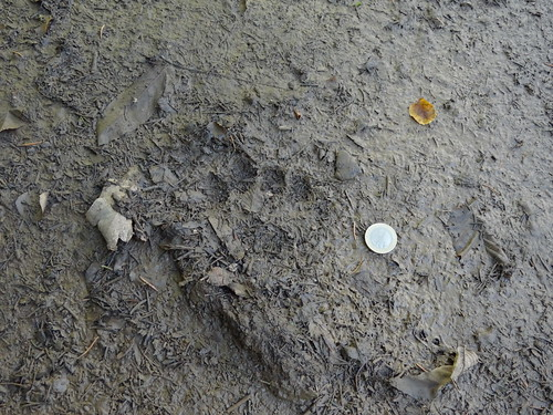 Young bear footprint