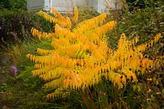 sumac foliage  2360 (Scott Weber PDX) Tags: autumn fall grass oregon garden portland sumac foliage shrub pennisetum