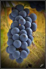 Weintraube (ubl57) Tags: red rot germany deutschland wine herbst bltter allemagne emsland lingen niedersachsen weintraube nikonflickraward