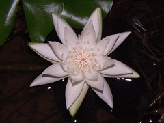 Water Lilly (Dis da fi we) Tags: waterlilly puntagorda toledodistrict belize toledo hickateebelize hickateepuntagorda jungle rainforest forest wildlife culture cottages hickatee