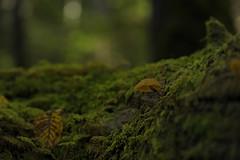 20121005 Shirakoma 3 (BONGURI) Tags: mushroom nikon nagano きのこ 長野 キノコ shirakoma afsvrmicronikkor105mmf28gifed 白駒池 d3s sakuho lakeshirakoma 佐久穂町 白駒の池