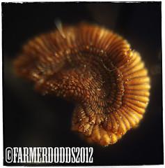 Sceletium tortuosum - Kanna Seed