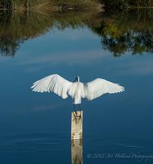 Great Egret wings DSC0450101512 (Gitart) Tags: reflection bird nature water birds wings pond wildlife reflect egret avian greategret blinkagain
