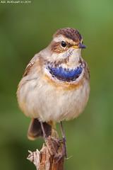 Bluethroat . . . !!! (arfromqatar) Tags: bluethroat birdsofqatar nikond7000  arfromqatar qatar2022 qatar2022fifaworldcup abdulrahmanalkhulaifi