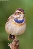 Bluethroat . . . !!! (arfromqatar) Tags: bluethroat birdsofqatar nikond7000 عبدالرحمنالخليفي arfromqatar qatar2022 qatar2022fifaworldcup abdulrahmanalkhulaifi