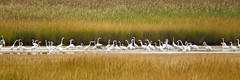 Great Egret Convention (Jeff Dyck) Tags: birds great northcarolina outerbanks egret greategret refuge greatwhiteegret bodieisland largeegret greatwhiteheron jeffdyck explored adreaalba commonegret