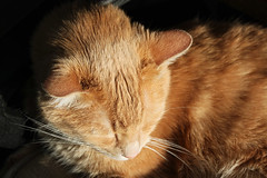 Doc in Afternoon Light (Robyn Waayers) Tags: cats sun cat robyn doc waayers