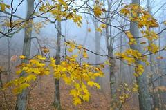 Yellow Maple Leaves (esywlkr) Tags: autumn mist fall rain yellow fog nc northcarolina wnc pisgahnationalforest westernnorthcarolina