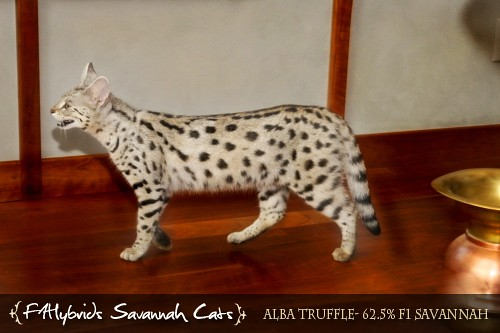 The World's Best Photos of savannahcat and