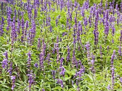 view of numerous plants (people12rickar) Tags: park flowers summer plants flower nature fauna garden outdoors photography stem flora day purple blossom background nobody nopeople fresh petal flowerbed growth bloom delicate botany fragile abundance freshness flowerhead cultivated flowerpetal colorimage fragility beautyinnature