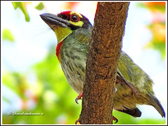 2572 - coppersmith barbet (chandrasekaran a 560k + views .Thanks to visits) Tags: nature powershotsx40hs india chennai birds coppersmith barbet