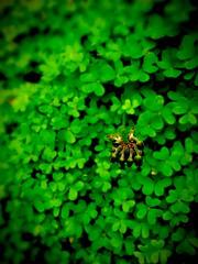 One in a million (*atrium09) Tags: flower macro green hoja portugal dof ruben flor porto lucky madeira santo petalo suerte trebol seabra atrium09 uploaded:by=flickrmobile flickriosapp:filter=nofilter