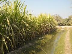 DSCN2843 (Jawaidsalam) Tags: travel tourism water agriculture sindh channel sugarcane pakstan