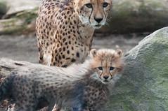 (GenJapan1986) Tags: animal japan zoo tokyo  cheetah     2013