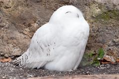 (GenJapan1986) Tags: bird animal japan zoo tokyo owl       2013