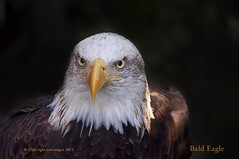Bald Eagle (Clearvisions) Tags: portrait detail animal baldeagle bald raptor tcw mygearandmeplatinum tonycward tcwimages ssacadamy