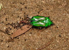 Heterorrhina elegans/dead flower-chafer scarab beetle with ants---1st of 3 photos (Hesperia2007) Tags: black green fauna bug insect dead beetle ants srilanka scarab invertebrate entomology southasia scarabaeidae cetoniinae flowerchafer heterorrhinaelegans