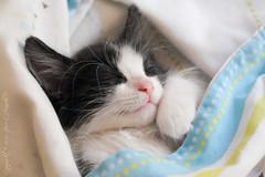 Bola 8 / Eight Ball (Pepe Araneda) Tags: family pet familia gato mascota araneda provoste kittyschoice alittlebeauty